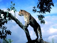 Leopard_In_Tree_X_1600x1200_25