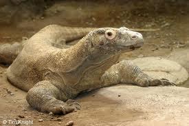 Komodo Ejderi Dünyanın En Büyük Kertenkelesi